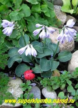"""Хоста БЛУ МАУС ИЭС (Hosta """"Blue Mouse Ears"""") прекрасно выглядит на теневой стороне горки. ЦЕНА 250 руб  (1 шт)"""