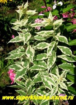 Флокс метельчатый НОРА ЛЕЙ = ДАРВИН''С ДЖОЙС (Phlox paniculata Nora Leigh = Darwin''s Joyce)  Нарядная вариегатная листва украшает сад весной и ранним летом.  ЦЕНА 300 руб (1шт) или 600 руб (кустик : 3-4 шт)  НЕТ НА ВЕСНУ