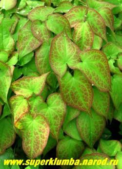 на фото молодая листва ГОРЯНКИ КРАСНОЙ (Epimedium x rubrum) пурпурная по краю и вдоль жилок, листья зимующие.   ЦЕНА 250 руб