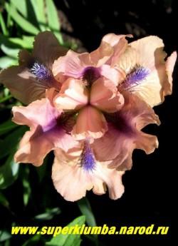 """Ирис ЧАНТЕД (Iris Chanted) Стандартный карликовый, розовый с синей бородкой и синими прожилками под ней, """"Парящие"""" нижние лепестки, неприхотливый,хорошо нарастает, очень ранний , высота 25-35 см, ЦЕНА 200 руб( 1 шт)"""