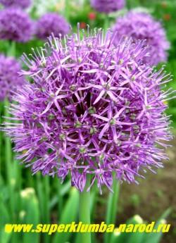ЛУК АФЛАТУНСКИЙ (Allium aflatunense)  один из самых крупных луков, пригоден для срезки и сухих букетов, цветы привлекают множество пчел и шмелей. ЦЕНА 100-150 руб (1 лук)