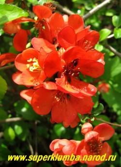 """АЙВА ЯПОНСКАЯ """"Красная"""" (Chaenomeles japonica)  невысокий густооблиственный кустарник с плотной кроной. Молодые листья темно-зеленые. Цветки крупные, диаметром 3-4 см, красные, растет медленно, высота 40-60 см, цветет в мае, НЕТ В ПРОДАЖЕ"""
