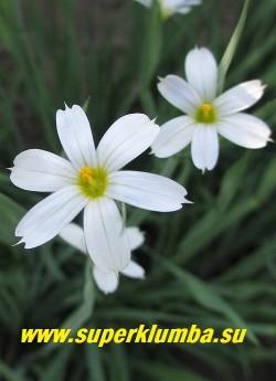 """СИСЮРИНХИЙ УЗКОЛИСТНЫЙ """"Белый"""" (Sisyrinchium angustifolium """"Album"""") Цветок крупным планом. Диаметр цветка 2,5- 3 см. НОВИНКА! ЦЕНА 200 руб ( кустик)"""
