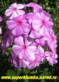 Флокс метельчатый СЛЕДЫ- 2 (Phlox paniculata Sledy)  Фото в полном роспуске. На одном соцветии часто одновременно можно увидеть и светлые и темные цветы. Эффектный сорт, чемпион и лидер выставок . НОВИНКА!, ЦЕНА 300 руб (1шт) или 600 руб (кустик: 3-4 шт) НЕТ НА ВЕСНУ