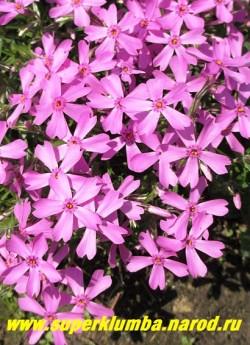 """ФЛОКС ШИЛОВИДНЫЙ """"Моерхейми"""" (Phlox subulata """"Moerheimii"""") Вечнозелёные ковры толщиной 5-15 см, крупные звездообразные темно-розовые с малиновым глазком цветы, диаметр цветка около 2,5 см, высота 10-15 см, цветет с конца мая около 30 дней. НОВИНКА! ЦЕНА  200-250 руб  (1 кустик)"""