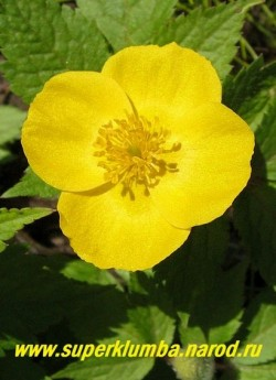 ЛЕСНОЙ МАК или ЧИСТОТЕЛ ВЕСЕННИЙ (Hylomecon vernalis) Цветок крупным планом. ЦЕНА 250 руб (1шт)