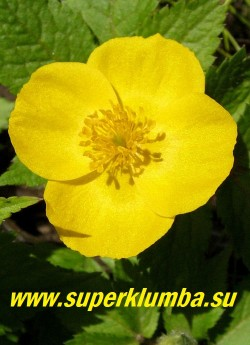 ЛЕСНОЙ МАК или ЧИСТОТЕЛ ВЕСЕННИЙ (Hylomecon vernalis) Цветок крупным планом. РЕДКОЕ РАСТЕНИЕ! ЦЕНА 250 руб (1шт)