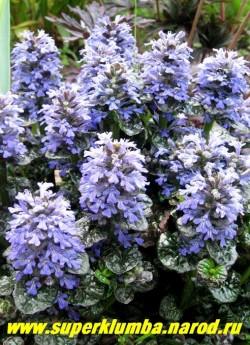 """цветет ЖИВУЧКА ПИРАМИДАЛЬНАЯ """"Металлика Криспа"""" (Ajuga pyramidalis """"Metallica Crispa"""") . Голубые цветы появляются в в конце мая-начале июня, цветение продолжается в течение 20 дней. Цветоносы низко посаженные, очень плотные и широкие, напоминают сосновую шишку. ЦЕНА 200 руб. (делёнка))"""