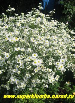 ТОНКОЛУЧНИК БЕЛЫЙ  (Phalacrolóma ánnuum/ Erigéron ánnuus)  Воздушное облако очаровательных мелких белых ромашек, высота до 1,2 м, цветет с конца июня по август. ЦЕНА 150 руб (делёнка)