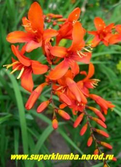 """КРОКОСМИЯ МАССОНОРУМ """"оранжевая"""" (Crocosmia massonorum) крупные оранжевые с красным зевом цветы смотрящие вверх на крупных соцветиях, высота 50 -60 см, цвете август-сентябрь. НЕТ В ПРОДАЖЕ"""