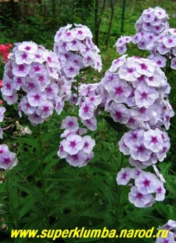 на фото куст флокса ЯРОСЛАВНА в нашем саду. ЦЕНА 250 руб (1 шт) или 500 руб (кустик: 3-4 шт)