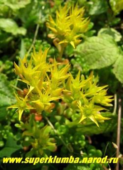 на фото соцветия ОЧИТКА ОРЕГОНСКОГО  (Sedum oreganum). Желтые цветки собраны в некрупные щитковидные соцветия.  НЕТ  В ПРОДАЖЕ