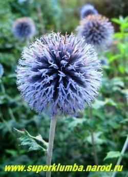 голубые шаровидные соцветия МОРДОВНИКА ОБЫКНОВЕННОГО (Echinops ritro), 3-5 см в диаметре, сидят на прочных стеблях, голубая окраска сохраняется в сухом виде. НЕТ В ПРОДАЖЕ.