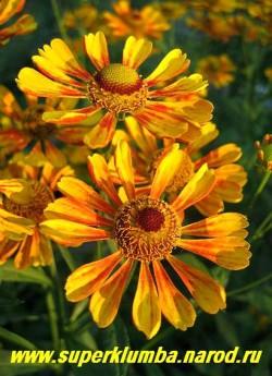 """ГЕЛЕНИУМ ОСЕННИЙ """"Желто-оранжевый"""" (Helenium autumnale) цветок крупным планом. ЦЕНА 150 руб (1 дел)"""