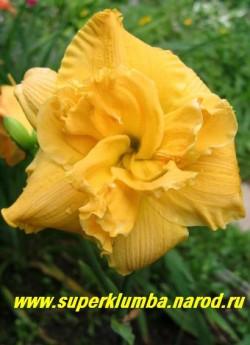 Лилейник ПАТРИСИЯ (Hemerocallis Patricia) дынно-персиковый махровый цветок, очень красивый разворот лепестков, классика, диаметр 13-15 см, цветение август-сентябрь, высота до 80 см, ЦЕНА 450 руб (1шт) НЕТ НА ВЕСНУ