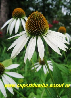"""Эхинацея """"БЕЛЫЙ ЛЕБЕДЬ"""" (Echinacea """"White swan"""") крупные цветы с белыми чуть опущенными лепестками с высокой коричнево-золотистой серединкой , высота куста до 70 см, цветет июль-август. НЕТ  В ПРОДАЖЕ"""