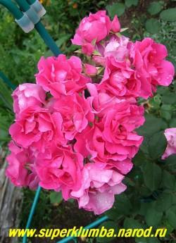 """РОЗА """" ЭЛЬВЕШОРН """" на кусту, Эта роза прекрасно себя чувствует в любых условиях и обильно цветет все лето крупными кистями изящной формы цветков , Сияющий ярко-розовый цвет не выгорает, и очень красив. НЕТ  В ПРОДАЖЕ"""