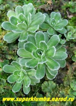 КАМНЕЛОМКА МЕТЕЛЬЧАТАЯ (Saxifraga paniculata )  внешне похожа на молодило , сизо-зеленые листочки с белыми зубчиками известкового налета по краю листа, образуют красивые розетки диаметром 5-6 см, цветет июнь-июль. ЦЕНА 150-200 руб ( 3-6 розеток)