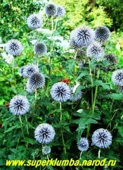МОРДОВНИК ОБЫКНОВЕННЫЙ (Echinops ritro) эффектный сухоцвет с  синими шаровидными соцветиями 3-5 см в диаметре,  высота до 90см, цветет июль-август.  Идеален на сухих участках. НЕТ В ПРОДАЖЕ .