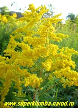 ЗОЛОТАРНИК ГИБРИДНЫЙ или СОЛИДАГО (Solidago x hybrida) Соцветие метельчатое 25-30 см длиной из золотисто-желтых цветков напоминающих мимозу, кусты до 140 см высотой, цв. конец августа -октябрь, Предпочитает открытые солнечные места. ЦЕНА 150 руб (2 деленки )