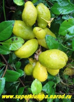 """Плоды АЙВЫ ЯПОНСКОЙ """"Красной"""" (Chaenomeles japonica)  Плоды съедобные, вытянутой формы, до 8 см в длину, желто-зеленые, очень ароматные, плотно сидят на ветках, созревают в конце сентября - в октябре. заменяют лимон в чае, а также вкусные компоты и варенье вам обеспечены. НЕТ В ПРОДАЖЕ"""