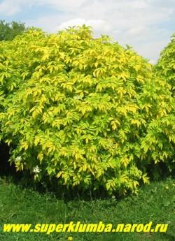 """БУЗИНА КАНАДСКАЯ """"АУРЕА"""" (Sambucus canadensis """"Aurea"""") Быстрорастущий стройный кустарник до 2,5 м в высоту с крупными, до 30 см, сложными золотистыми листьями; крупными до 25 см белыми соцветиями ароматных цветов, и круглыми темно-вишневыми, съедобными ягодами. ЦЕНА 500 руб (5 летка)"""