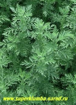 ПОЛЫНЬ ПОНТИЙСКАЯ или РИМСКАЯ (Artemisia pontica)  седая ажурная листва очень декоративна. Она более душистая, чем полынь обыкновенная и менее горькая. Употребляют её в тех же случаях, что и обыкновенную, особенно в мясные кушания. ЦЕНА 200 руб (1 дел)