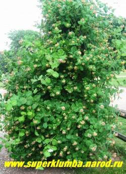ЖИМОЛОСТЬ ГИБРИДНАЯ (Lonicera) Красиво цветущая неприхотливая лиана, побеги которой поднимаются до 3-4 м. Цветет в июне-июле около трех недель, Предпочитает солнечное место. ЦЕНА 150-300 руб (2-4-х летка)