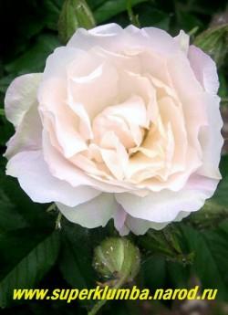 """РОЗА МОРЩИНИСТАЯ """"ПОЛАРЕИС"""" (Rosa rugosa """"Polareis"""") цветок крупным планом. НОВИНКА! ЦЕНА  500 руб. ( большие кусты 4-5 летки) НЕТ  В ПРОДАЖЕ"""