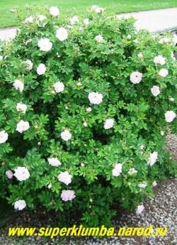 """куст РОЗЫ МОРЩИНИСТОЙ """" ПОЛАРЕИС"""" (Rosa rugosa """"Polareis""""). ЦЕНА  500 руб. ( большие кусты 4-5 летки) НЕТ  В ПРОДАЖЕ"""