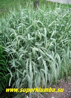 ДВУКИСТОЧНИК ТРОСТНИКОВЫЙ или ФАЛЯРИС (Phalaris arundinacea)  пышный многолетний злак с полосатой широкой бело-зеленой листвой, соцветия-густые колосовидные метелки до 20см длиной, высота до 80см, быстро разрастается, поэтому на маленьких площадях нуждается в ограничивающих рост емкости. ЦЕНА 200 руб (делёнка)