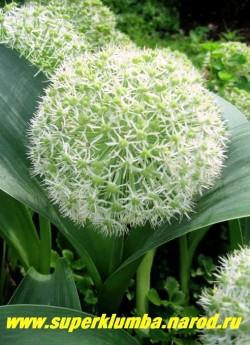 """ЛУК КАРАТАВСКИЙ """"Айвори Квин"""" (Allium karataviense''Ivory Queen'' ) соцветие состоит из множества белых звездчатых цветков, после цветения образуются достаточно декоративные коробочки плодов. ЦЕНА 100 руб (1 шт)"""