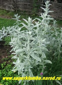 """ПОЛЫНЬ ЛЮДОВИКА """"Силвер Квин"""" (Artemisia ludoviciana """"Silver Queen"""")  декоративные побеги длиной 75-90 см с ланцетными серебристо-белыми листьями, которые образуют рыхлый куст. предпочитает солнце, не любит застоя воды, ароматное """"серебро"""" для сада, ЦЕНА 150-200 руб  (1 делёнка)"""