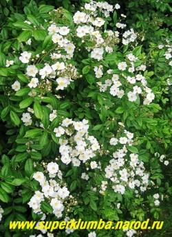 на фото куст РОЗЫ МНОГОЦВЕТКОВОЙ (Rosa multiflora) Очень декоративна роза в период цветения, когда куст покрыт белыми цветками, и осенью благодаря многочисленным красным плодам, которые долго остаются на растении, часто до весны следующего года. Обильнее цветет на солнечных местах,  ЦЕНА 300-600 руб (3- 5 летка)