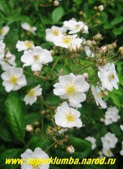 РОЗА МНОГОЦВЕТКОВАЯ (Rosa multiflora) Роза абсолютно не имеющая шипов,  с длинными  гибкими  ветвями до 2 м в высоту украшенными  простыми белыми цветками , собранными в огромные пирамидально-метельчатые соцветия до 500 шт на побеге. Плоды шаровидные, мелкие, красные, нарядные осенью. Цветет в июне - начале июля, в течение 30 дней.  РЕДКОЕ!   ЦЕНА 300-600 руб (3- 5 летка)