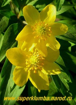 АНЕМОНА  ЛЮТИЧНАЯ (Anemone ranunculoides) Цветок крупным планом. ЦЕНА 150 руб (делёнка)