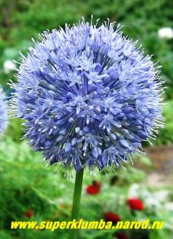 ЛУК ГОЛУБОЙ (Allium caeruleum) крупные ярко-голубые соцветия диаметром 6-7 см, съедобен, листья и луковицы имеют слабый чесночный привкус, высокодекоративен, идеален на альпийских горках, цветет июль-август, высота 60-70 см, ЦЕНА 150 руб (3 лук) лук