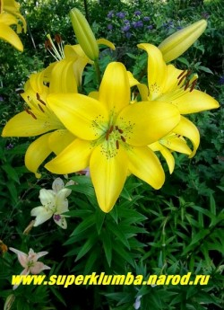 Лилия ИВЕРНА (Lilium  Iverna) Азиатский гибрид, Лимонно-желтые крупные цветки с небольшим крапом. Обильноцветущая, неприхотливая. Высота 80 см.  ЦЕНА 200 руб (1 шт)