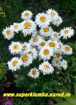 """Нивяник  ЯРМАРКА (Leucanthemum """"Exhibition"""") Фото цветущего куста. Цветы похожи на детские личики окруженные светлыми кудряшками , очень милый и необычный сорт! ЦЕНА 300 руб (делёнка)"""