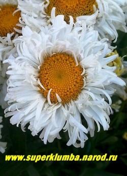 """Нивяник """"ЯРМАРКА"""" (Leucanthemum """"Exhibition"""") красивый полумахровый сорт с кудрявыми закрученными назад лепестками. диаметр цветка 6 см, высота 70 см, цветет в июле, ЦЕНА 300 руб (делёнка)"""