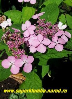 ГОРТЕНЗИЯ ПИЛЬЧАТАЯ (Нydrangea serrata) Вариация с розовыми цветами. Цветы меняют колер в зависимости от степени кислотности почвы и содержания в ней солей алюминия. Для получения голубых и синих соцветий необходимо вносить в почву соли железа или алюмо-калиевые или аммиачно-калиевые квасцы. ЦЕНА 500-1300 руб.(4-8 летки)