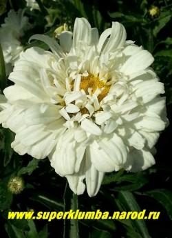 """Нивяник """"ВИКТОРИАН СЕКРЕТ"""" (Leucanthemum """"Victorian Secret"""") белые махровые цветы с широкими лепестками по краю и узкими, укороченными и рассечёнными лепестками в верхних рядах, получил свое  название за схожесть  соцветий с кружевными складчатыми воротниками времен королевы Виктории. Диаметр цветка 8-9 см, длительное цветение с июня по август. Высота 25-35 см.  ЦЕНА 350 руб  (делёнка)"""