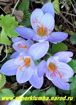 КРОКУС ПРЕКРАСНЫЙ (Сrocus speciosus) осеннецветущий крокус с крупными небесно-голубыми цветами и ярко-оранжевыми тычинками. Цветет в сентябре-октябре. НОВИНКА! НЕТ В ПРОДАЖЕ