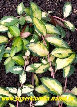 """БАРВИНОК МАЛЫЙ """"Иллюминейшн"""" (Vinca minor """"Illumination"""") Очень красивая пестролистная форма с золотистожелтыми листьями, окаймленными темнозеленой кайтой. Цветет светло-фиолетовыми цветами в мае- июне.  НЕТ В ПРОДАЖЕ"""