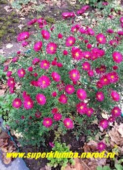 """АСТРА КУСТАРНИКОВАЯ """"Дженни"""" (Aster dumosus """"Jenny"""") малиновокрасные очень яркие цветы с желтой серединкой. Цветет с конца августа по октябрь. Высота 50-60 см. НОВИНКА! ЦЕНА 180  руб.(1 делёнка"""