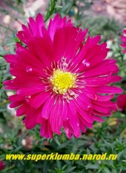 """АСТРА КУСТАРНИКОВАЯ """"Дженни"""" (Aster dumosus """"Jenny"""") цветок крупным планом. НОВИНКА! ЦЕНА 180 руб.(1 делёнка"""