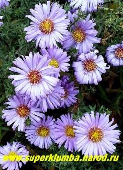 """АСТРА КУСТАРНИКОВАЯ """"Блаубокс"""" (Aster dumosus """"Blaubox"""") голубая , диаметр цветка 3,5 см, выс. до 50 см, цветение конец сентября-октябрь. ЦЕНА 100 руб (1 делёнка"""
