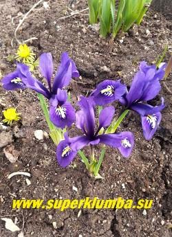 ИРИДОДИКТУМ СЕТЧАТЫЙ  ХАРМОНИ  (Iridodictyum reticulata Harmony)  Темные  сине-фиолетовые  цветы с ярким желтым пятном на лепестках. Высота 5-10см. Цветение апрель-начало мая.  НОВИНКА!  НЕТ В ПРОДАЖЕ.