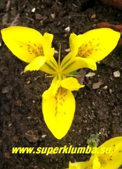 ИРИДОДИКТУМ ДАНФОРД  (Iridodictyum danfordiae)  Цветки желтые  с темно-желтым пятном в основании лепестков и коричневым крапом, 5—7 см в поперечнике.  Высота 5-10см, цветет в  апреле-начале мая. НОВИНКА!  НЕТ В ПРОДАЖЕ.