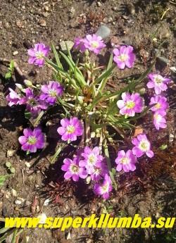 ЛЕВИЗИЯ КАРЛИКОВАЯ (Lewisia pygmaea) очень декоративный низкорослый суккулент с мясистыми листьями, похожими на листву декоративных луков и розовыми цветами диаметром 2,5см , цветущий практически все лето. Высота 3-5 см. НОВИНКА!  ЦЕНА 200 руб
